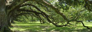 Southern Green Live Oak